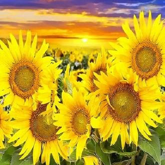 피포페인팅 Q3263 태백 해바라기꽃밭 DIY명화그리기