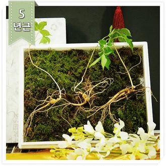 강원산삼초 산양산삼 5년근 3뿌리