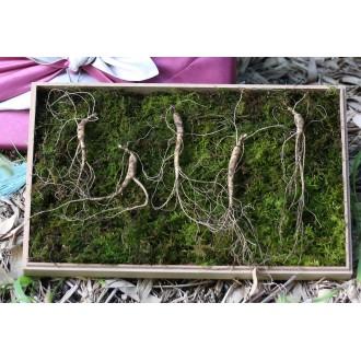 로치데일 함양 산양삼 5-6년근 5뿌리 지리산 산양산삼 로열 장뇌 담금주 추석 명절 선물
